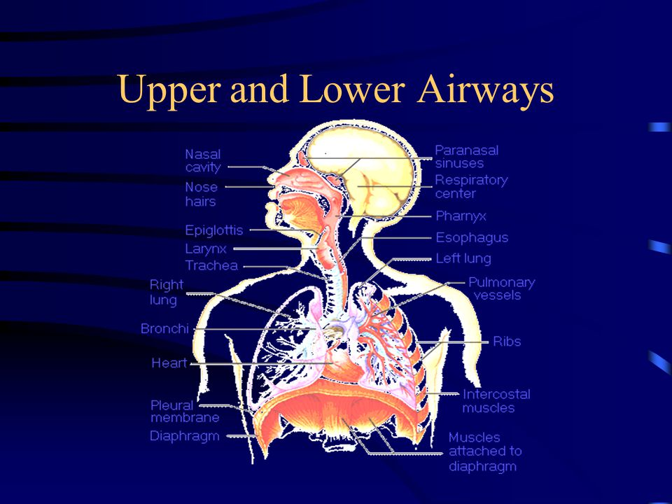 Upper and Lower Airways