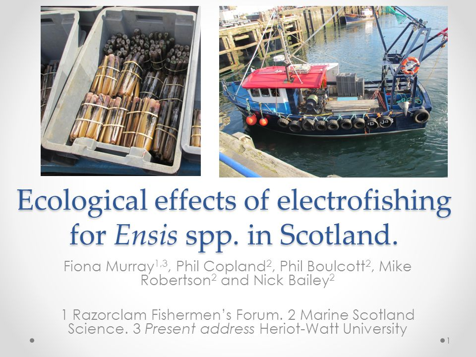 Ecological effects of electrofishing for Ensis spp.