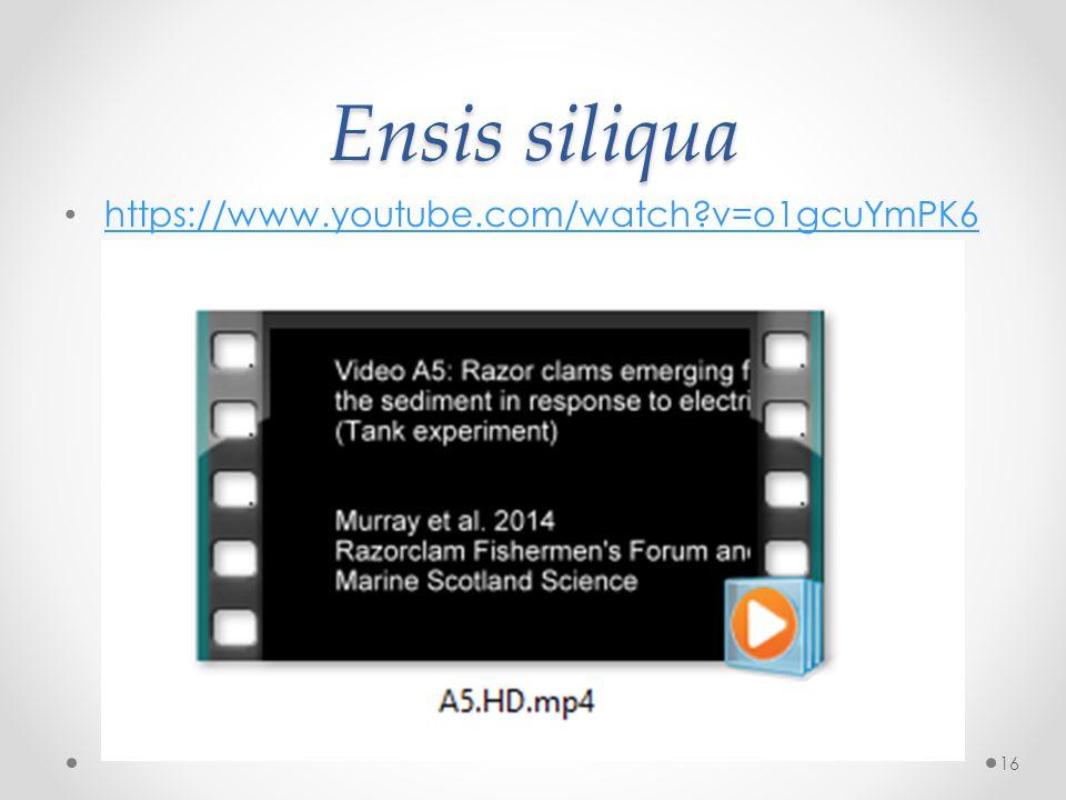Ensis siliqua https://www.youtube.com/watch v=o1gcuYmPK6 w https://www.youtube.com/watch v=o1gcuYmPK6 w 16