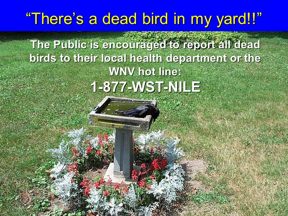 2/26/03 SAS There's a dead bird in my yard!! The Public is encouraged to report all dead birds to their local health department or the WNV hot line: 1-877-WST-NILE