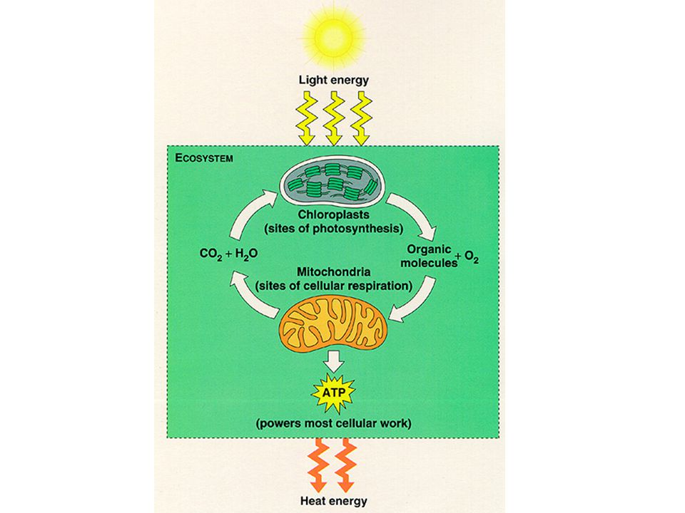 How Do Photosynthesis & Respiration Compare?