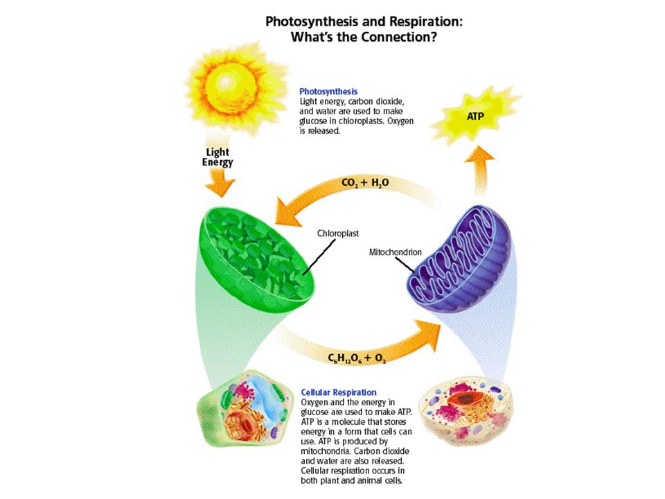 Lab: Balance of Photosynthesis & Respiration Purpose: To assess the relative conditions for and rates of photosynthesis and respiration within a single organism Method: Qualitative assessment of pH using Brom-Thymol Blue (an indicator for acids)