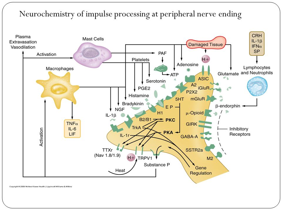 Neurochemistry of impulse processing at peripheral nerve ending