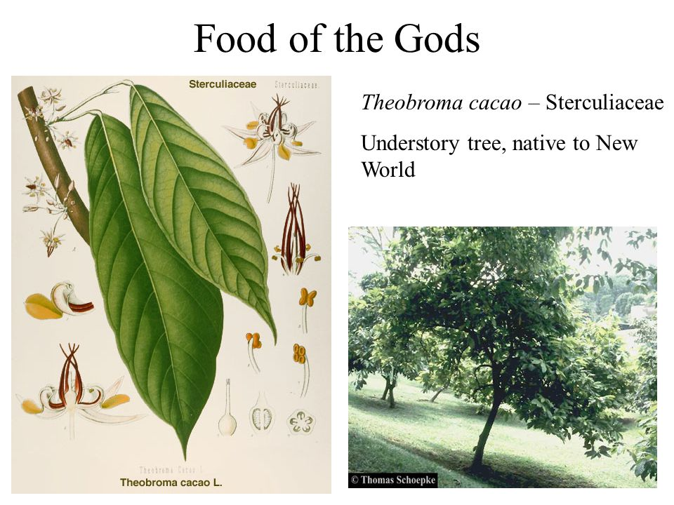 Food of the Gods Theobroma cacao – Sterculiaceae Understory tree, native to New World