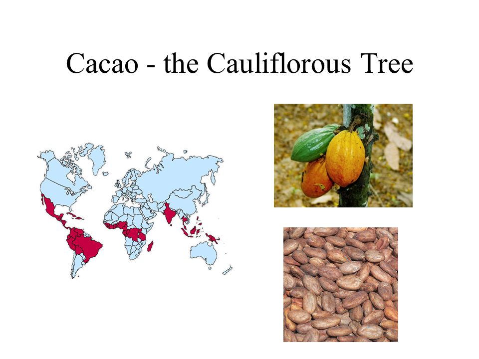 Cacao - the Cauliflorous Tree