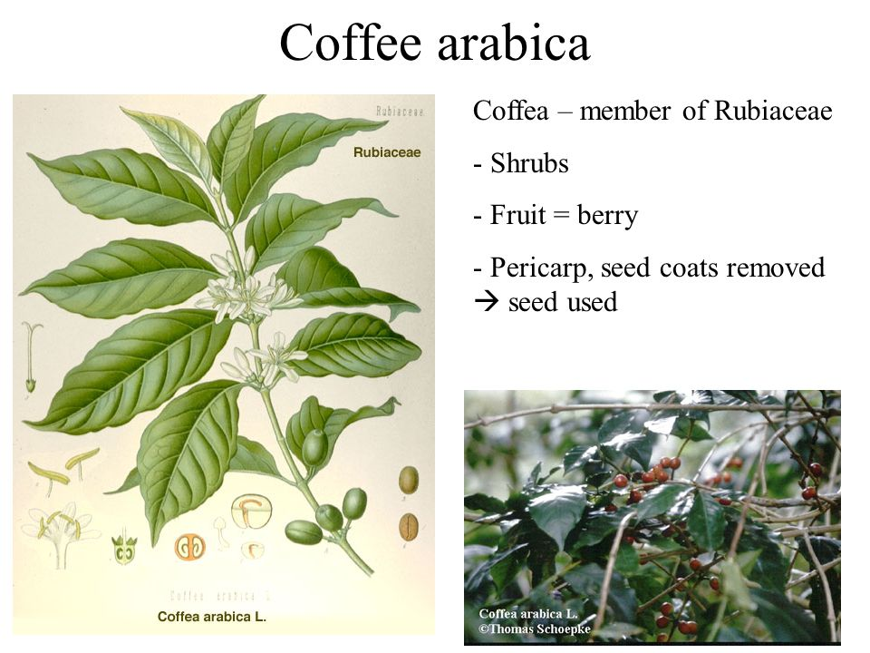 Coffee arabica Coffea – member of Rubiaceae - Shrubs - Fruit = berry - Pericarp, seed coats removed  seed used
