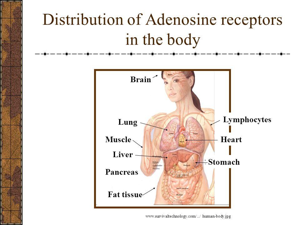 Distribution of Adenosine receptors in the body Brain Fat tissue Pancreas MuscleHeart Lung Stomach Liver www.survivaltechnology.com/.../ human-body.jpg Lymphocytes