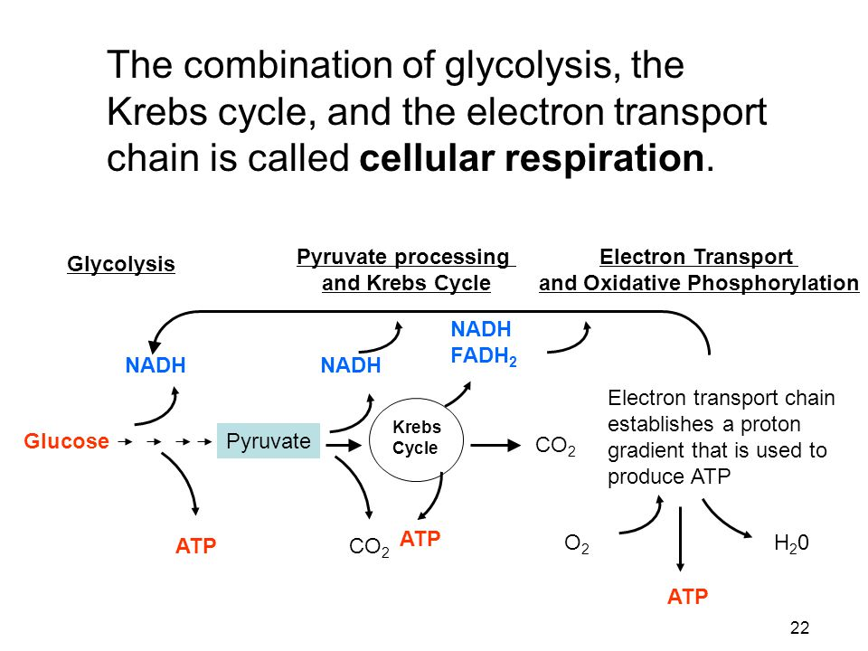 22 The combination of glycolysis, the Krebs cycle, and the electron transport chain is called cellular respiration. Glycolysis Pyruvate processing and