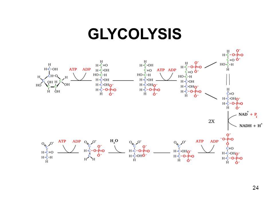 GLYCOLYSIS 24