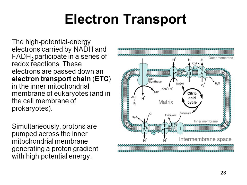28 Electron Transport The high-potential-energy electrons carried by NADH and FADH 2 participate in a series of redox reactions. These electrons are p