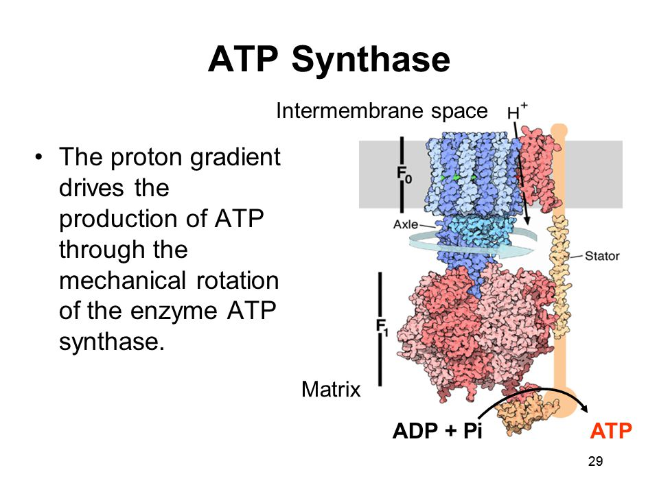 29 ATP Synthase The proton gradient drives the production of ATP through the mechanical rotation of the enzyme ATP synthase. ADP + PiATP Matrix Interm