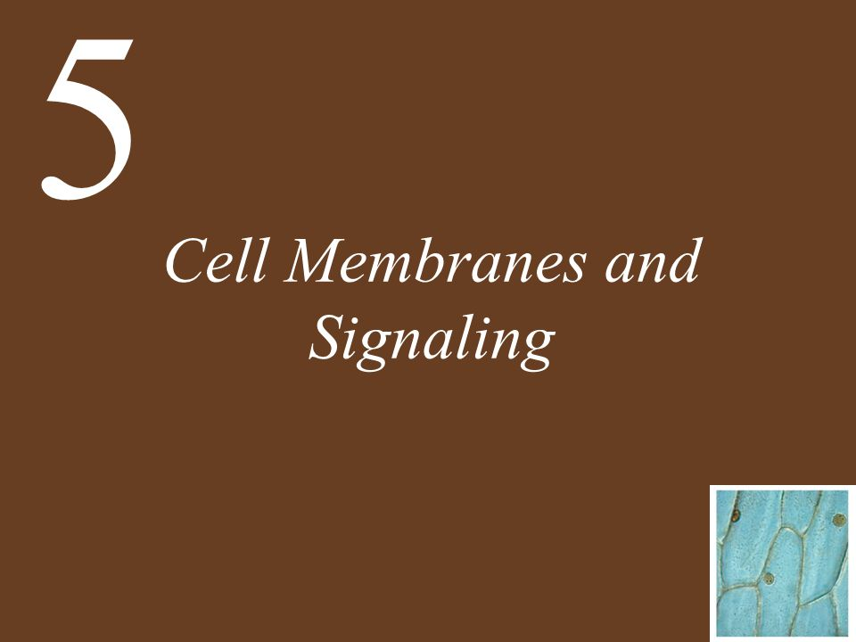 Chapter 5 Cell Membranes and Signaling Key Concepts 5.1 Biological Membranes Have a Common Structure and Are Fluid 5.2 Some Substances Can Cross the Membrane by Diffusion 5.3 Some Substances Require Energy to Cross the Membrane
