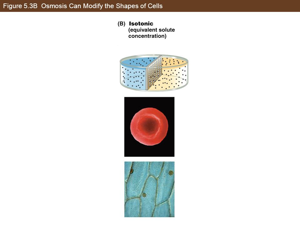 Figure 5.3B Osmosis Can Modify the Shapes of Cells