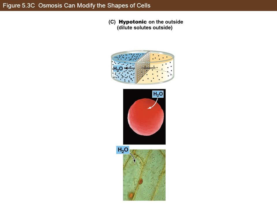 Figure 5.3C Osmosis Can Modify the Shapes of Cells