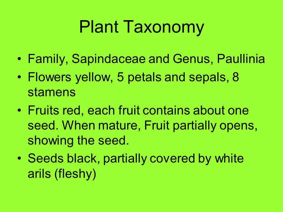 Plant Taxonomy Family, Sapindaceae and Genus, Paullinia Flowers yellow, 5 petals and sepals, 8 stamens Fruits red, each fruit contains about one seed.