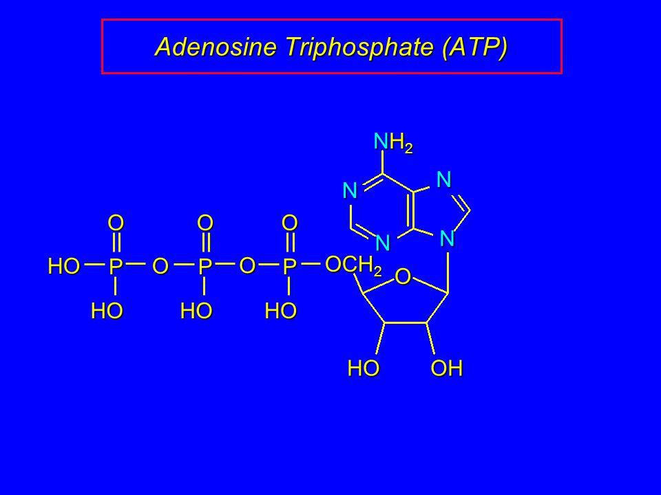 Adenosine Triphosphate (ATP) N N N N O OHHO NH2NH2NH2NH2 OCH 2 P O O HO P O HO O P O HO HO