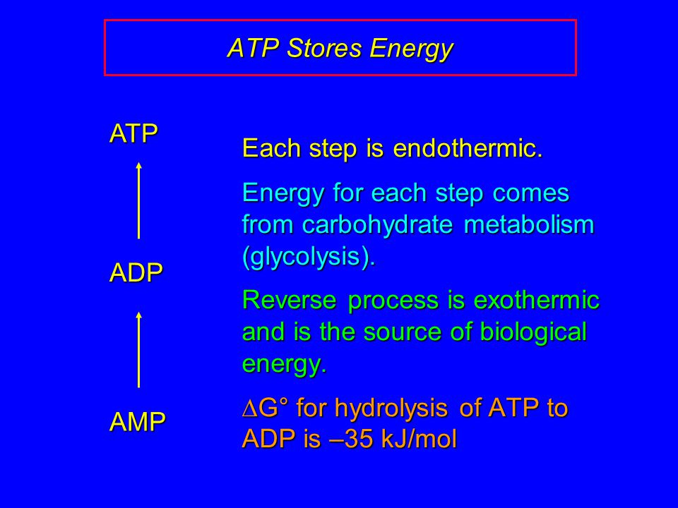 ATP Stores Energy AMP ADP ATP Each step is endothermic.