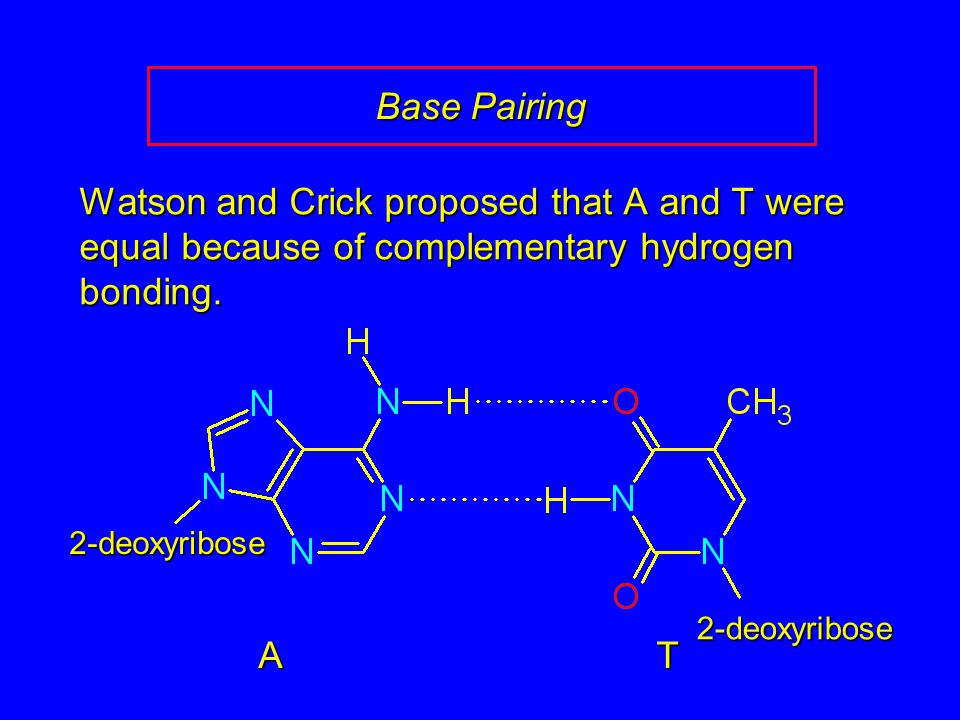 Base Pairing Watson and Crick proposed that A and T were equal because of complementary hydrogen bonding.