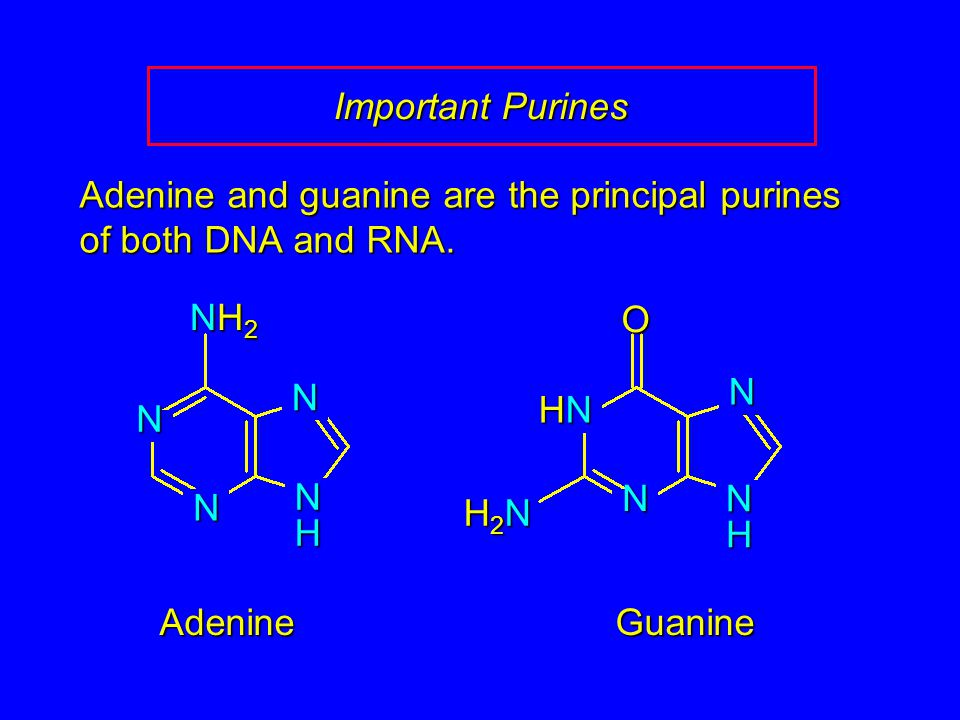 Important Purines Adenine and guanine are the principal purines of both DNA and RNA. Adenine N N NH2NH2NH2NH2N NHNHNHNH GuanineO HNHNHNHN NHNHNHNH N N