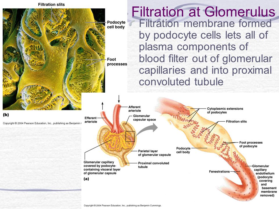 Filtration at Glomerulus Filtration membrane formed by podocyte cells lets all of plasma components of blood filter out of glomerular capillaries and into proximal convoluted tubule