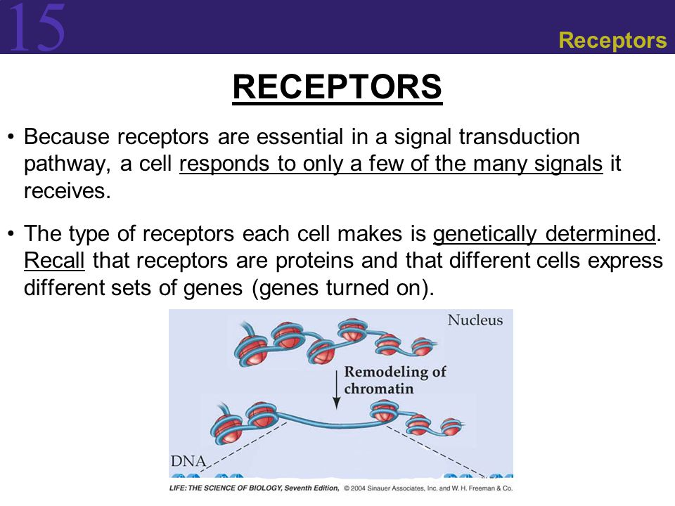 15 Receptors RECEPTORS Because receptors are essential in a signal transduction pathway, a cell responds to only a few of the many signals it receives.