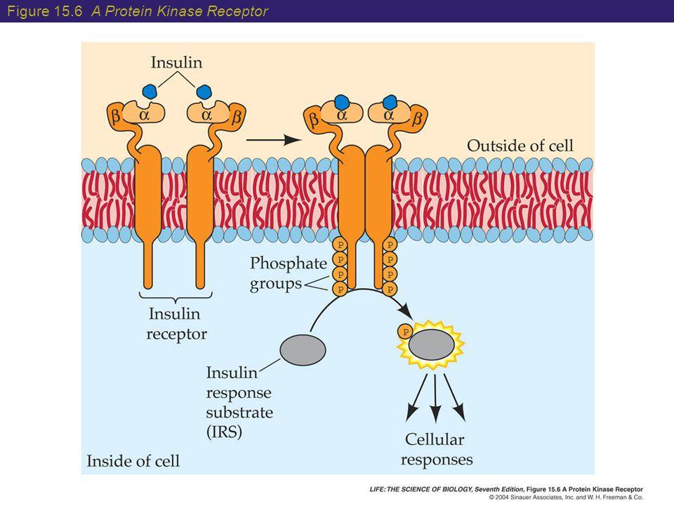 Figure 15.6 A Protein Kinase Receptor