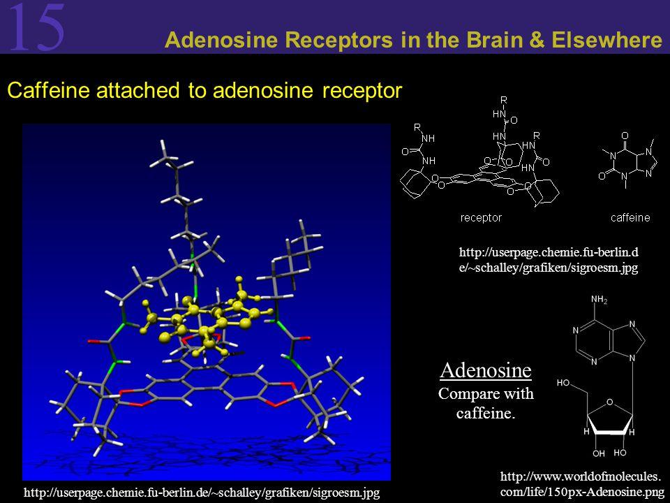 15 Adenosine Receptors in the Brain & Elsewhere Caffeine attached to adenosine receptor http://userpage.chemie.fu-berlin.de/~schalley/grafiken/sigroesm.jpg http://userpage.chemie.fu-berlin.d e/~schalley/grafiken/sigroesm.jpg Adenosine Compare with caffeine.