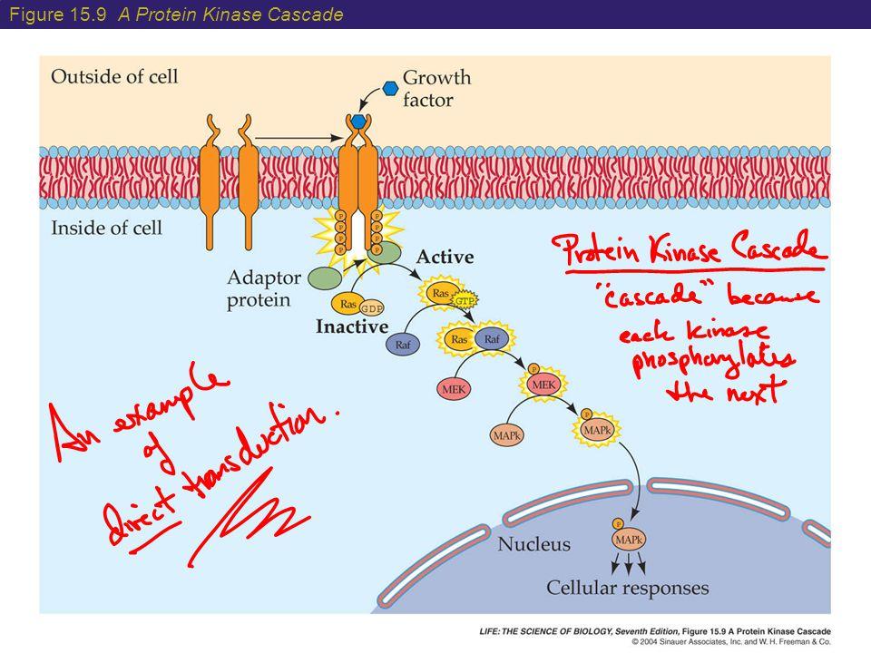 Figure 15.9 A Protein Kinase Cascade