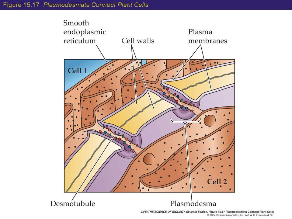 Figure 15.17 Plasmodesmata Connect Plant Cells