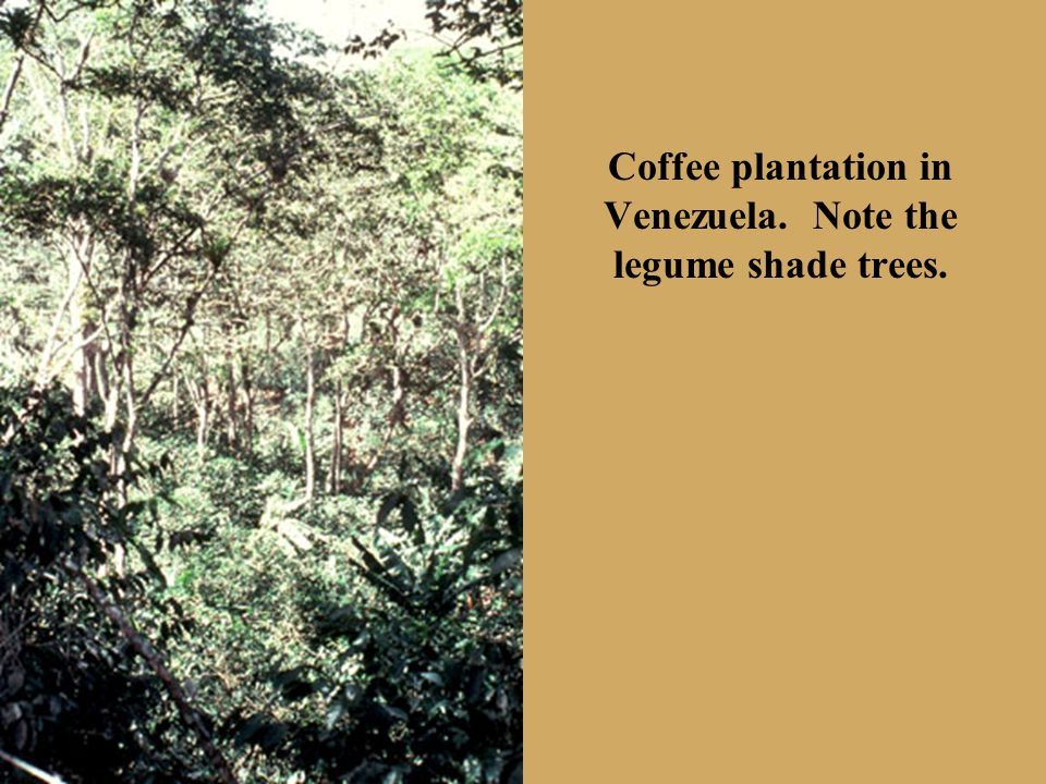 Coffee plantation in Venezuela. Note the legume shade trees.
