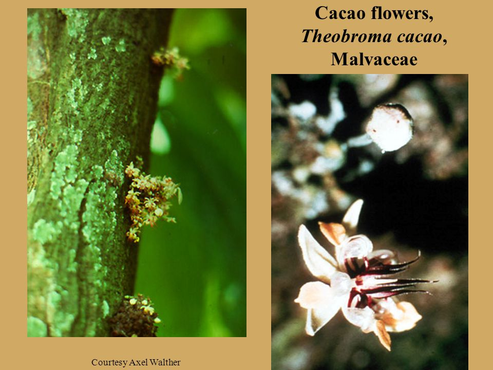 Cacao flowers, Theobroma cacao, Malvaceae Courtesy Axel Walther