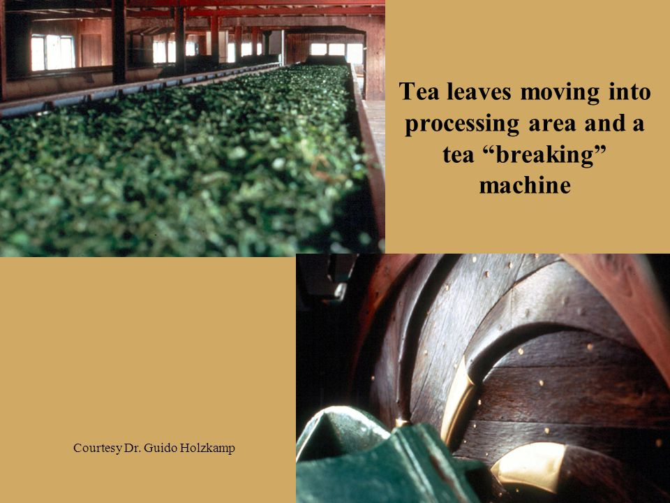 """Tea leaves moving into processing area and a tea """"breaking"""" machine Courtesy Dr. Guido Holzkamp"""