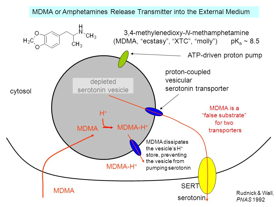 proton-coupled vesicular serotonin transporter cytosol ATP-driven proton pump SERT MDMA serotonin vesicle MDMA MDMA-H + H+H+ MDMA dissipates the vesicle's H + store, preventing the vesicle from pumping serotonin serotonin depleted serotonin vesicle MDMA-H + MDMA is a false substrate for two transporters 3,4-methylenedioxy-N-methamphetamine (MDMA, ecstasy , XTC , molly ) pK a ~ 8.5 Rudnick & Wall, PNAS 1992 MDMA or Amphetamines Release Transmitter into the External Medium