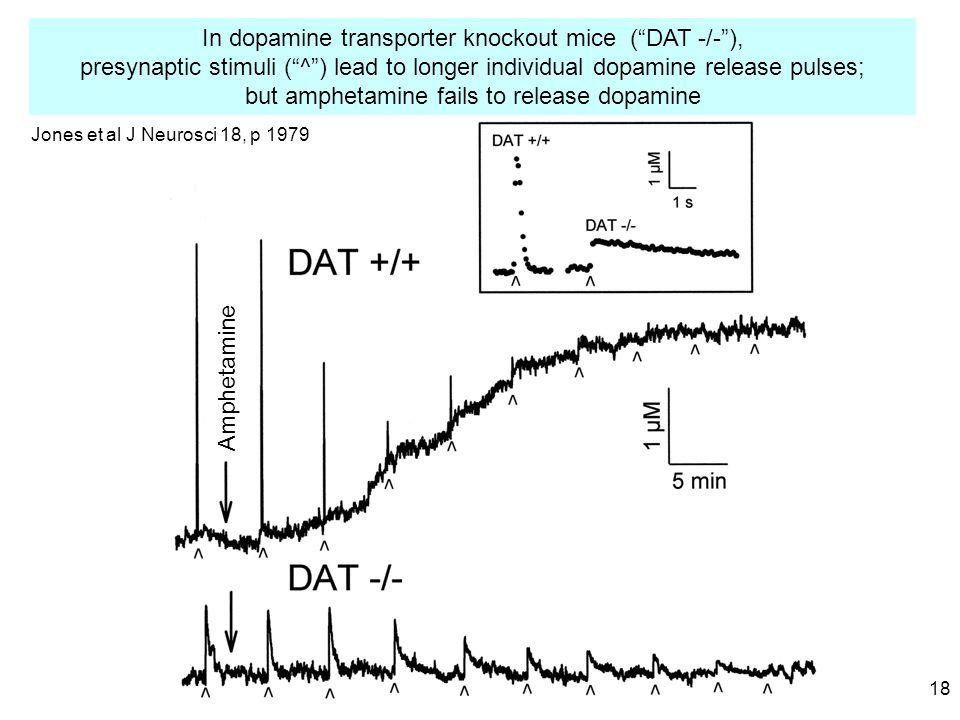 18 In dopamine transporter knockout mice ( DAT -/- ), presynaptic stimuli ( ^ ) lead to longer individual dopamine release pulses; but amphetamine fails to release dopamine Amphetamine Jones et al J Neurosci 18, p 1979