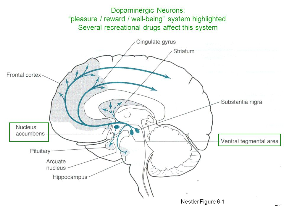 21 Nestler Figure 6-1 Dopaminergic Neurons: pleasure / reward / well-being system highlighted.