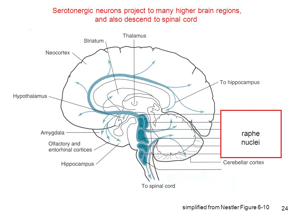 24 Serotonergic neurons project to many higher brain regions, and also descend to spinal cord raphe nuclei simplified from Nestler Figure 6-10