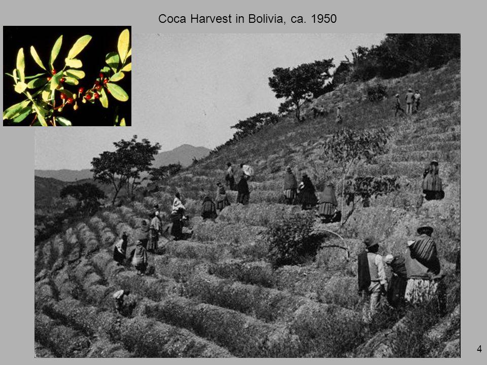 4 Coca Harvest in Bolivia, ca. 1950