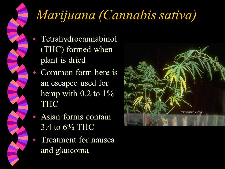 Jimson Weed (Datura stramonium) w Contains Tropane alkaloids w Causes hallucinations, headaches, delirium, convulsions and coma