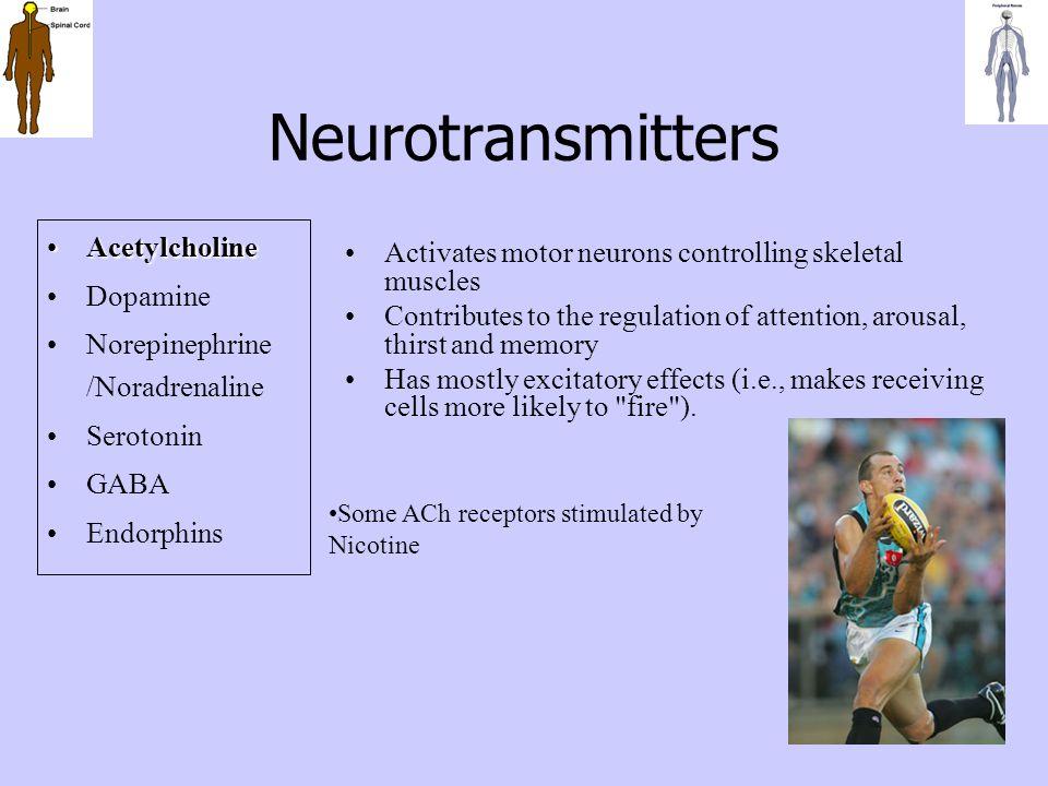 Neurotransmitters AcetylcholineAcetylcholine Dopamine Norepinephrine /Noradrenaline Serotonin GABA Endorphins Activates motor neurons controlling skel