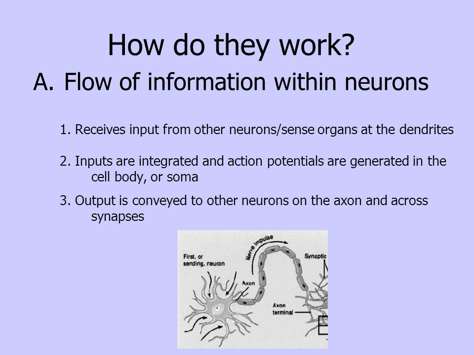 Nerve cells in the basal ganglia send messages that signal the body to move.