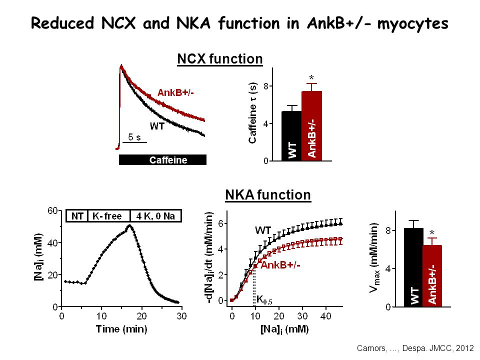 Caffeine Reduced NCX and NKA function in AnkB+/- myocytes NCX function NKA function Camors, …, Despa.