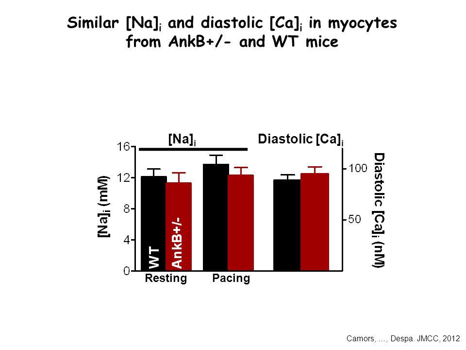 Similar [Na] i and diastolic [Ca] i in myocytes from AnkB+/- and WT mice [Na] i Diastolic [Ca] i RestingPacing Camors, …, Despa.