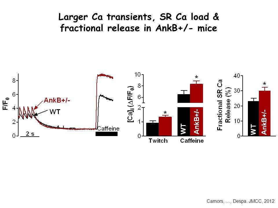 Larger Ca transients, SR Ca load & fractional release in AnkB+/- mice Camors, …, Despa. JMCC, 2012