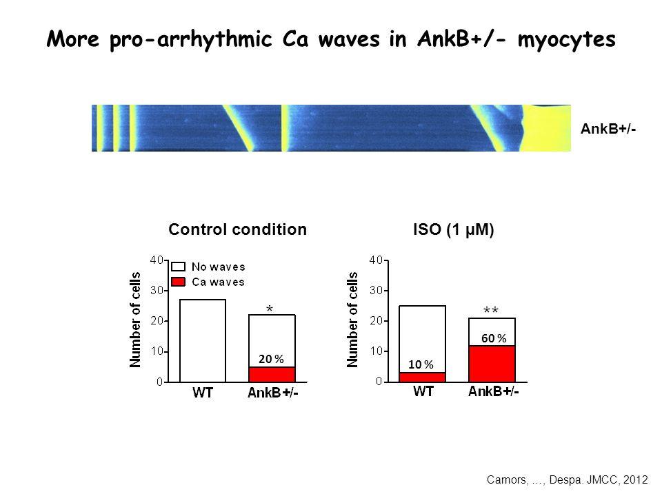 More pro-arrhythmic Ca waves in AnkB+/- myocytes 20 % 60 % 10 % Control conditionISO (1 µM) AnkB+/- Camors, …, Despa.