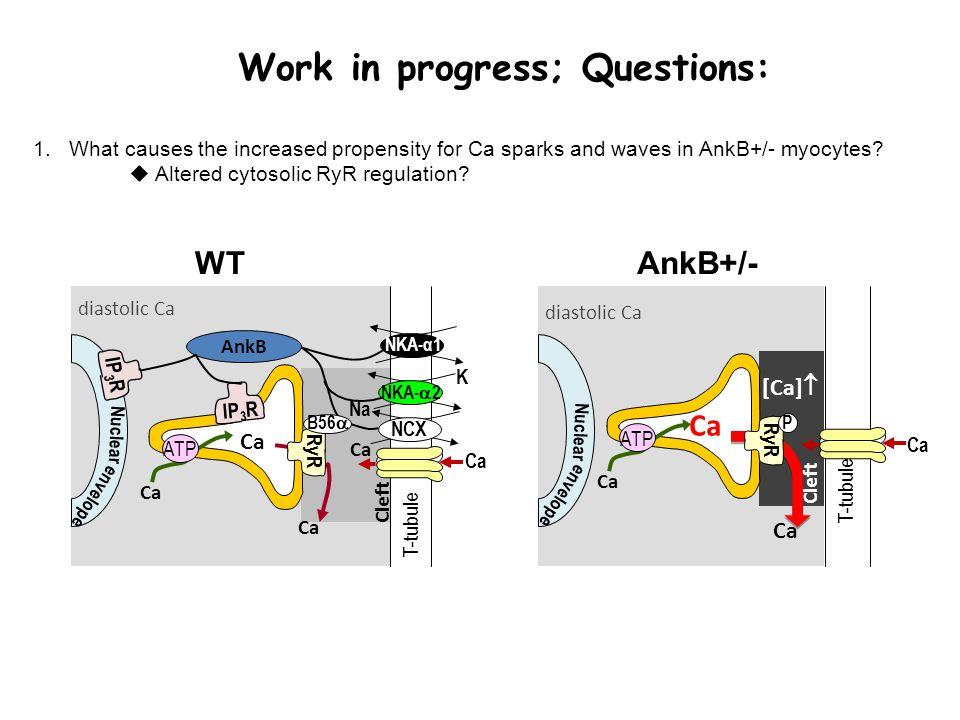 WTAnkB+/- T-tubule NKA-α1 Cleft Ca Na Ca NCX K NKA-  2 Ca ATP Ca RyR diastolic Ca B56  Nuclear envelope IP 3 R AnkB Cleft [Ca]  T-tubule Ca ATP Ca RyR diastolic Ca Nuclear envelope P 1.What causes the increased propensity for Ca sparks and waves in AnkB+/- myocytes.