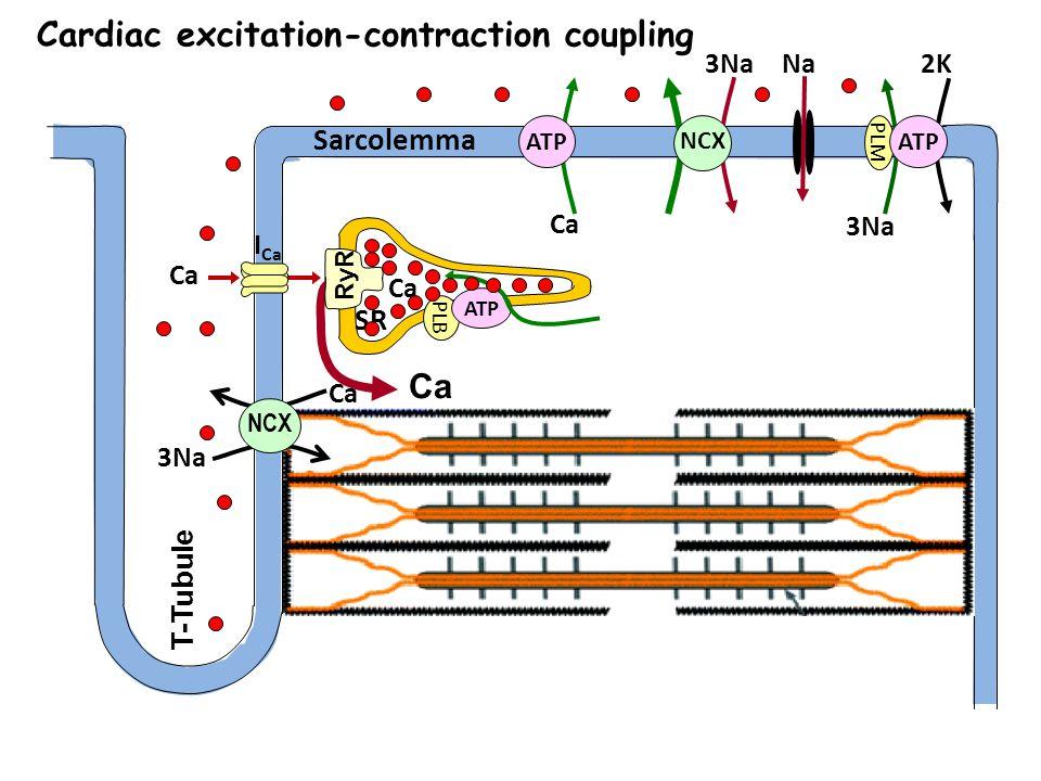 Cardiac excitation-contraction coupling Sarcolemma Ca T-Tubule Ca 3Na NCX ATP Na 3Na 2K PLM ATP I Ca Ca SR PLB ATP RyR 3Na Ca NCX
