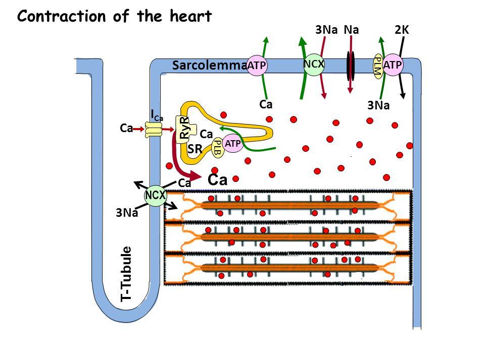 Sarcolemma Ca T-Tubule Ca 3Na NCX ATP Na 3Na 2K PLM ATP I Ca Ca SR PLB ATP RyR 3Na Ca NCX Contraction of the heart