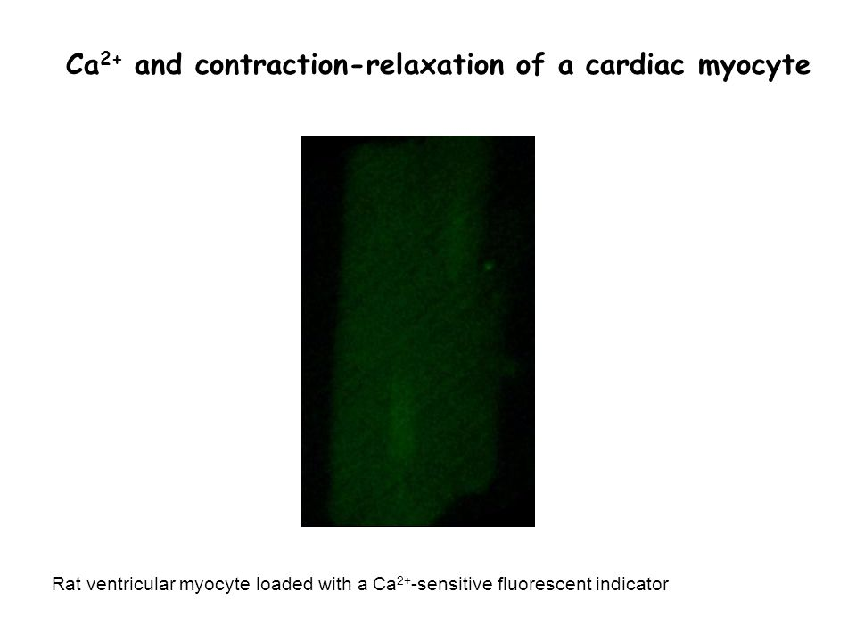 Ca 2+ and contraction-relaxation of a cardiac myocyte Rat ventricular myocyte loaded with a Ca 2+ -sensitive fluorescent indicator