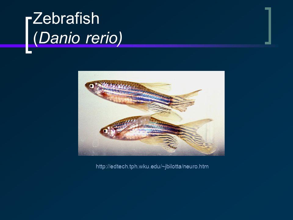 Zebrafish (Danio rerio) http://edtech.tph.wku.edu/~jbilotta/neuro.htm