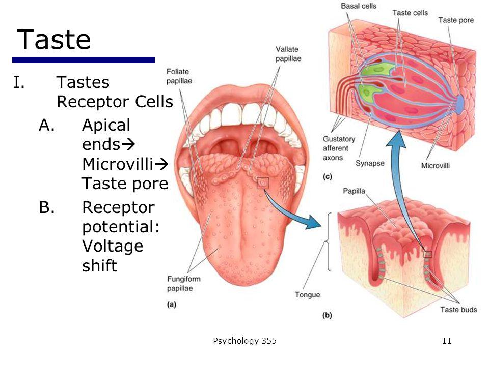 Psychology 35511 Taste I.Tastes Receptor Cells A.Apical ends  Microvilli  Taste pore B.Receptor potential: Voltage shift